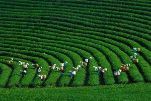 Đồi chè Mộc Châu (nông trường Mộc Châu) mùa thu hoạch