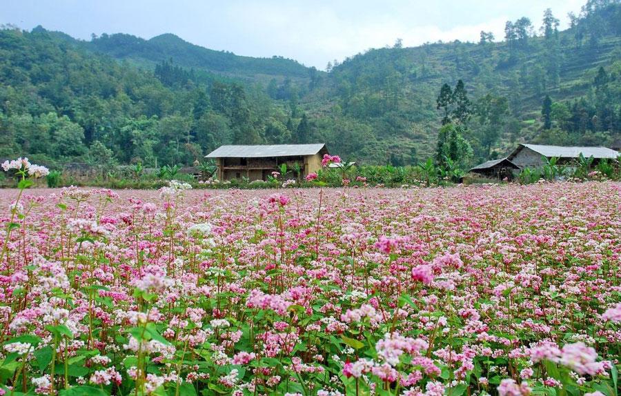 Những cánh đồng hoa tam giác mạch trổ bông níu giữ chân du khách