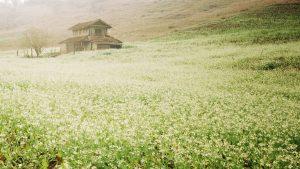 Trắng trời màu hoa cải - loài hoa đẹp Mộc Châu